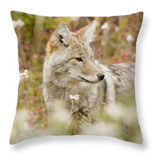Animals In The Wild Throw Pillow featuring the photograph Young Coyote Canis Latrans In A Forest by Philippe Widling