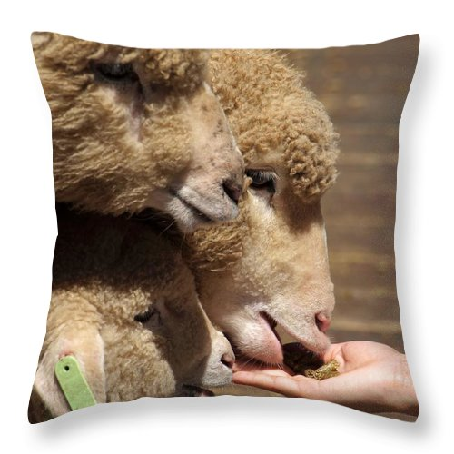 Sheep Throw Pillow featuring the photograph Young Sheep Are Hand Fed by Yali Shi