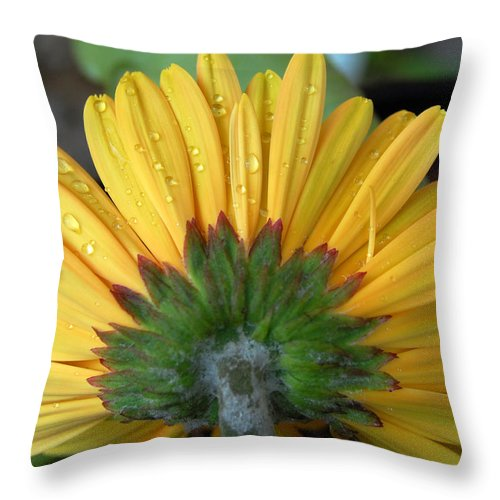 Flowers Throw Pillow featuring the photograph Water Drops On Gerbera Daisy by Amy Fose