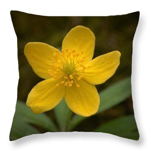 Lehtokukka Throw Pillow featuring the photograph Yellow Wood Anemone by Jouko Lehto