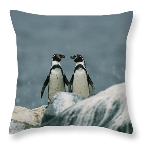 South America Throw Pillow featuring the photograph A Pair Of Humboldt, Or Peruvian by Joel Sartore