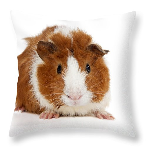 fe219b199 Abyssinian Guinea Pig Throw Pillow for Sale by Anthony Totah