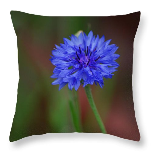Bachelor Button Throw Pillow featuring the photograph Bachelor Button Blues Lll by Michelle Hastings