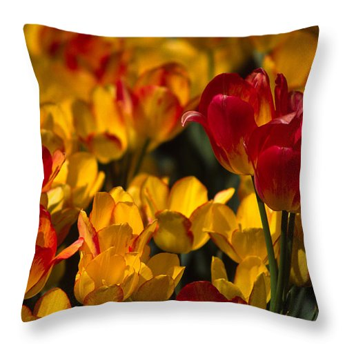 Tulip Throw Pillow featuring the photograph Blazing Tulips by Michele Burgess