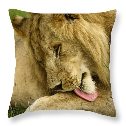 Lion Throw Pillow featuring the photograph Cleaning Up by Michele Burgess
