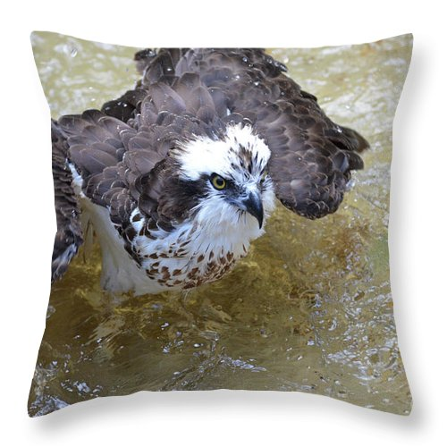 Bathing Throw Pillow featuring the photograph Fish Eagle Bird Playing In Water by DejaVu Designs