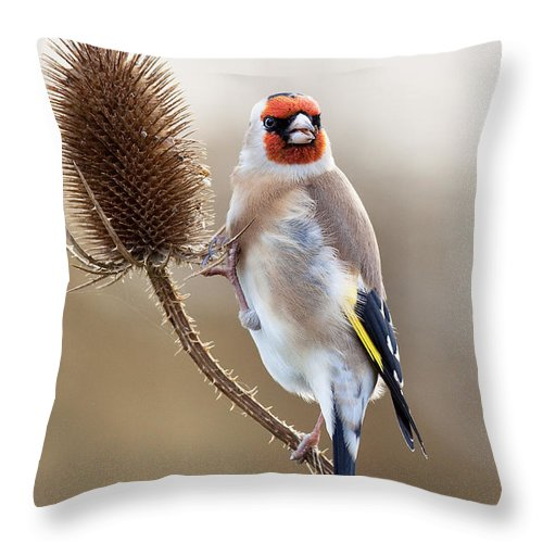 Goldfinch Throw Pillow featuring the photograph Goldfinch On Teasle by Bob Kemp