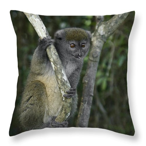 Madagascar Throw Pillow featuring the photograph Gray Bamboo Lemur by Michele Burgess
