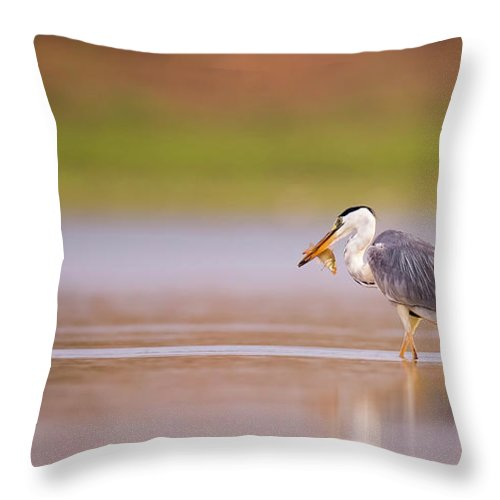 Grey Heron Throw Pillow featuring the photograph Grey Heron Ardea Cinerea by Alon Meir