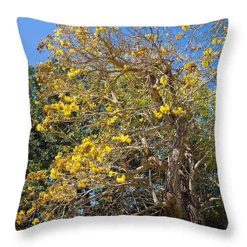 Florida; Tree; Plant; Flower; Flowering; Blossom; Blossoming; Jerusalem; Thorn; Possom; Mexican; Pal Throw Pillow featuring the photograph Jerusalem Thorn Tree by Allan Hughes