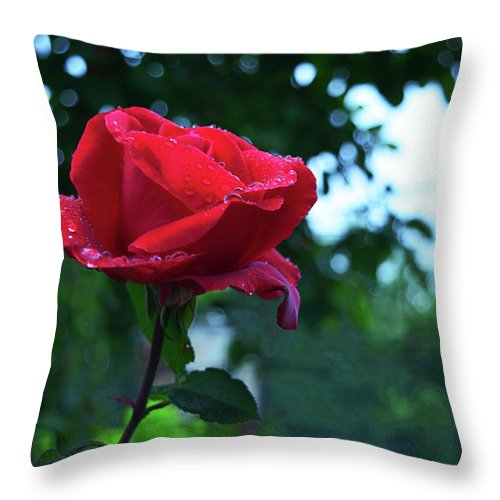Dew Throw Pillow featuring the photograph Pink Rose With Dew Drops by Zoya Tsupina