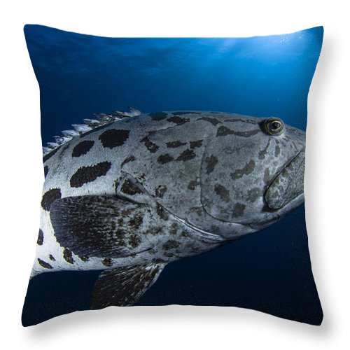 Osteichthyes Throw Pillow featuring the photograph Potato Grouper, Australia by Todd Winner