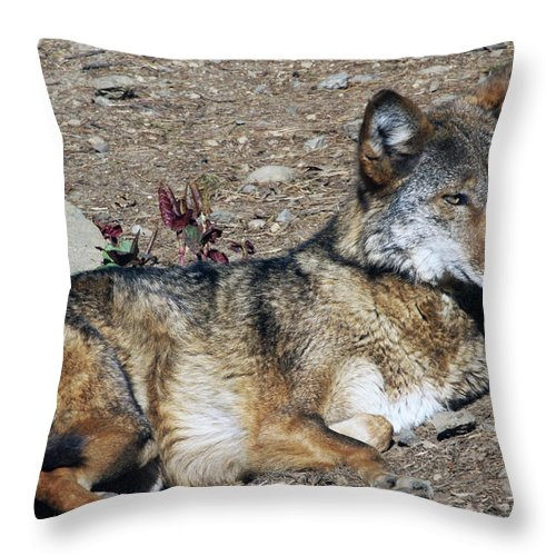 Wolf Throw Pillow featuring the photograph Resting Wolf by Karol Livote