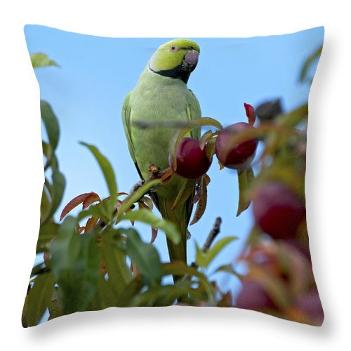 Rose-ringed Parakeet Throw Pillow featuring the photograph Rose-ringed Parakeet by David Chatterton