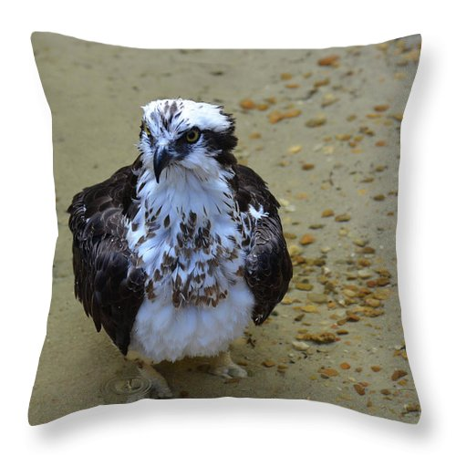 Bathing Throw Pillow featuring the photograph Sea Hawk Standing In Shallow Water by DejaVu Designs
