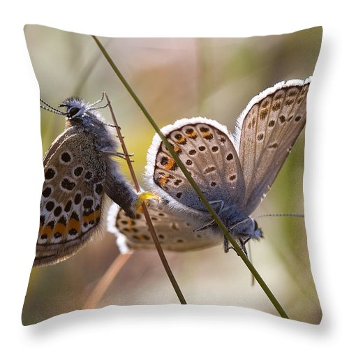 Butterfly Throw Pillow featuring the photograph Silver-studded Blue Butterflies by Bob Kemp