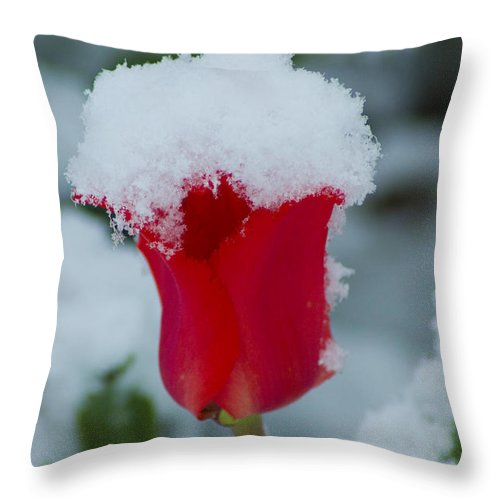 Tulip Throw Pillow featuring the photograph Snowy Red Riding Hood by Louise Magno