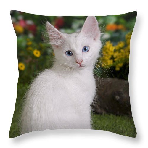 da07a2d049 Cat Throw Pillow featuring the photograph Turkish Angora Kitten by Jean-Michel  Labat