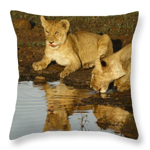 Lion Throw Pillow featuring the photograph We're Thirsty by Michele Burgess