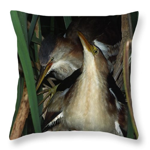 Native Throw Pillow featuring the photograph Least Bitterns On Nest by Mark Wallner