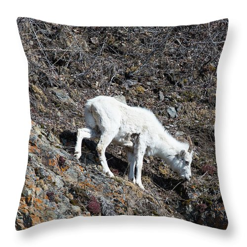 Wildlife Throw Pillow featuring the photograph Dahl Sheep, Turnigan Arm by Jacob Read
