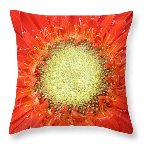 Gerbera Throw Pillow featuring the photograph Gerbera by Daniel Csoka