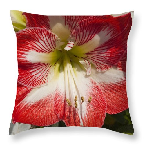 Amaryllidaceae Throw Pillow featuring the photograph Amaryllidaceae Hippeastrum Stargazeramarylllis by Allan Hughes