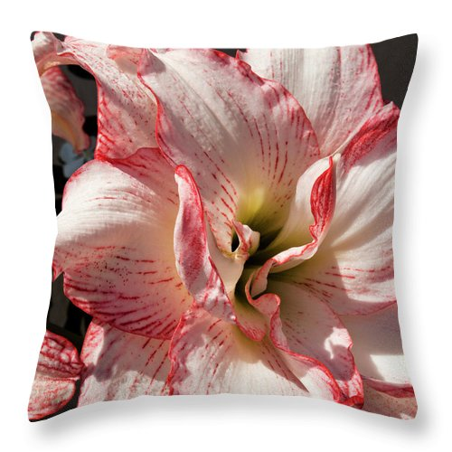 Amaryllidaceae Throw Pillow featuring the photograph Amaryllidaceae Hippeastrum Amorice by Allan Hughes