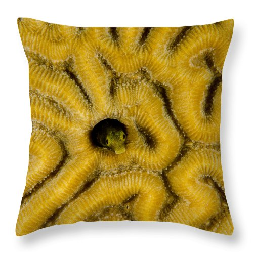 Fish Throw Pillow featuring the photograph A Blenny In Brain Coral by Brent Barnes