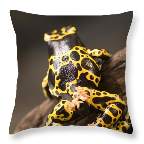Nobody Throw Pillow featuring the photograph A Bumblebee Or Yellow-backed Poison by Joel Sartore