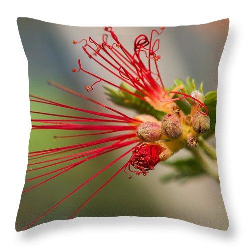Black Throw Pillow featuring the photograph A Fairy Duster Is Born by Barbara Fagan Sullivan