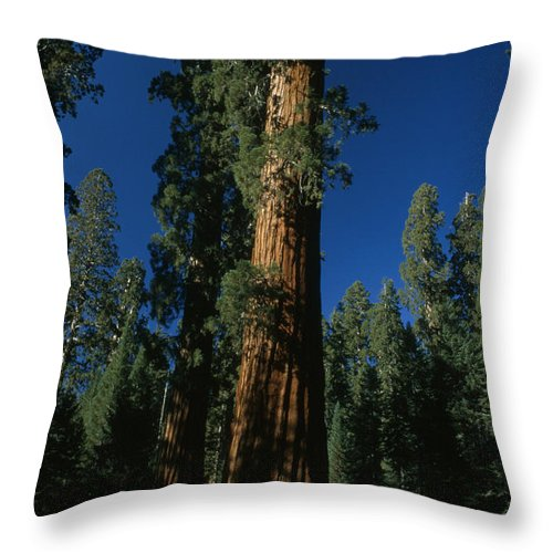 Outdoors Throw Pillow featuring the photograph A Giant Sequoia Tree Towers by Phil Schermeister