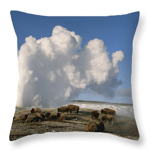North America Throw Pillow featuring the photograph A Group Of American Bison Rest by Tom Murphy
