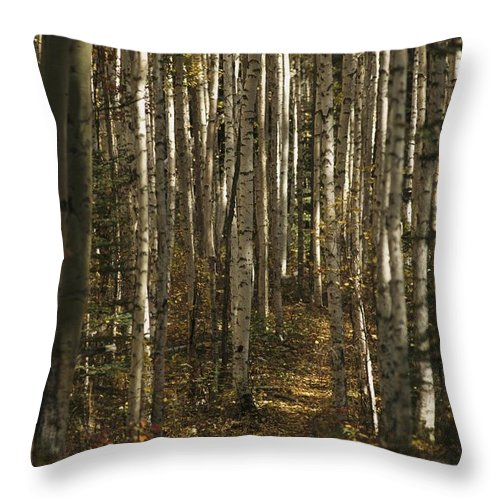North America Throw Pillow featuring the photograph A Stand Of Birch Trees Show by Raymond Gehman