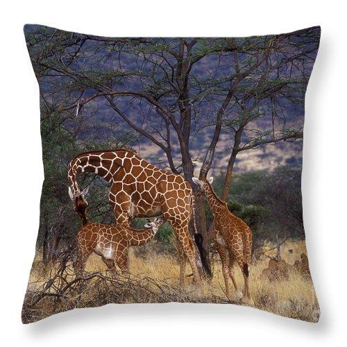 Giraffe Throw Pillow featuring the photograph A Tender Moment by Sandra Bronstein