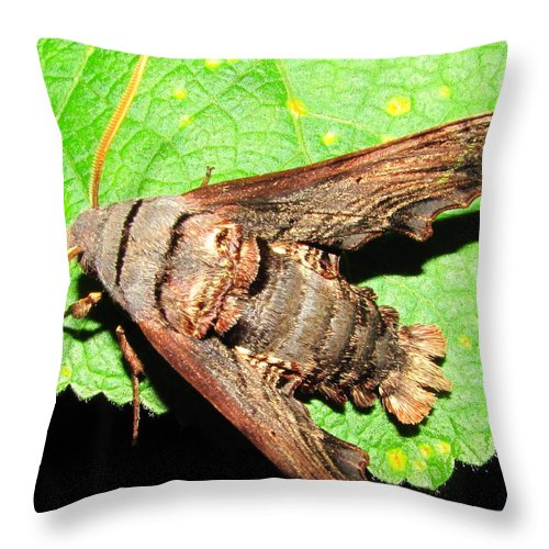 Maryland Abbotts Sphinx Moth Images Maryland Moth Images Hawk Moth Images Maryland Moth Photograph Prints Abbotts Sphinx Moth Prints Moths Of Maryland Nature Forest Ecosustem Biodiversity Nocturnal Insects Moth Diversity Throw Pillow featuring the photograph Abbotts Sphinx Moth by Joshua Bales