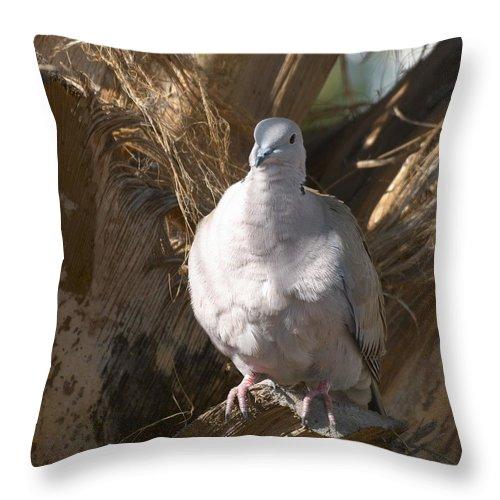 Lehtokukka Throw Pillow featuring the photograph African Collared Dove 3 by Jouko Lehto