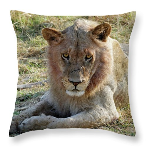 Lion Throw Pillow featuring the photograph African Lion by Robert Shard