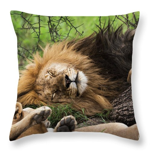 Arusha Throw Pillow featuring the photograph African Lion Sleeping In Serengeti by RicardMN Photography