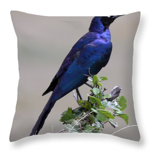 Starling Throw Pillow featuring the photograph African White Eye Starling by Joseph G Holland