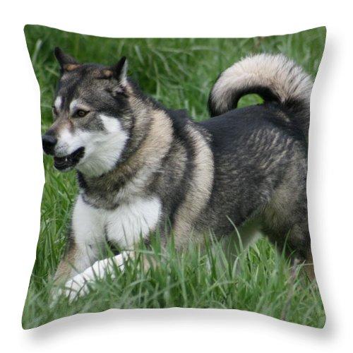 Dog Throw Pillow featuring the photograph Alaskan Malamute 2 by David Dunham