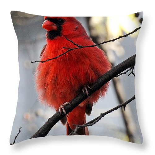 Cardinal Throw Pillow featuring the photograph All Fluff by Jennifer Robin