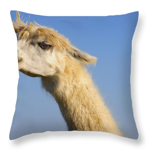 Skip Hunt Throw Pillow featuring the photograph Alpaca by Skip Hunt