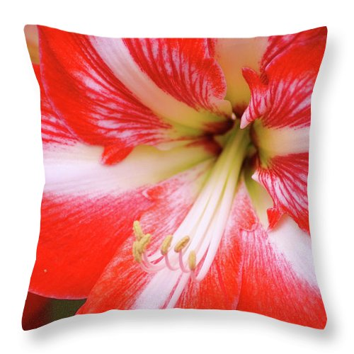 Flower Throw Pillow featuring the photograph Amaryllis Red by Donna Bentley