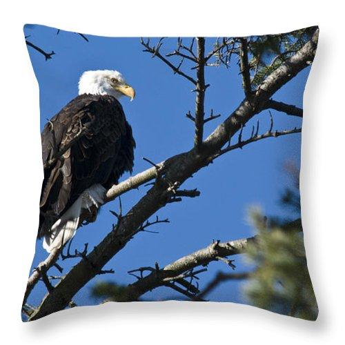 Chad Davis Throw Pillow featuring the photograph American Bald Eagle by Chad Davis