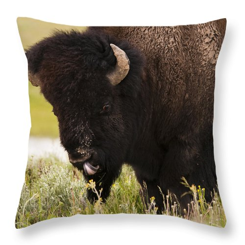 Bison Throw Pillow featuring the photograph American Bison Tongue by Chad Davis