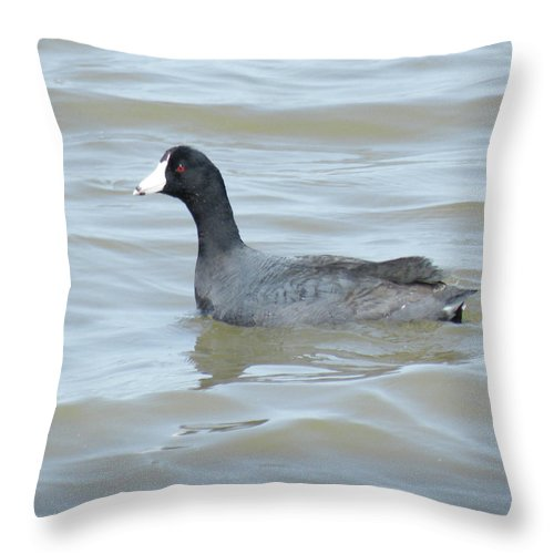 Photograph Throw Pillow featuring the photograph American Coot by Gilbert Pennison