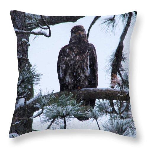 Bald Eagle Throw Pillow featuring the photograph An Eagle Gazing Through Snowfall by Jeff Swan
