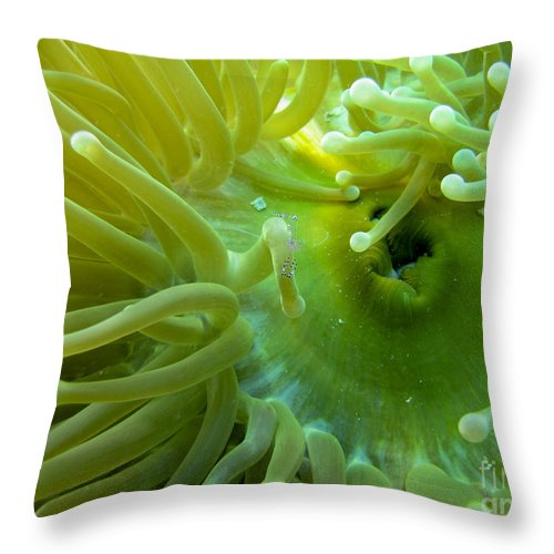 Coral Throw Pillow featuring the photograph Anemone Shrimp2 by Dan Norton