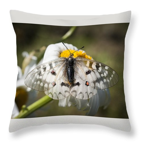Apollo Butterfly Throw Pillow featuring the photograph Apollo Butterfly by Robert Potts